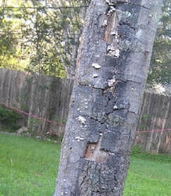 Diseased tree with bark cracking and peeling